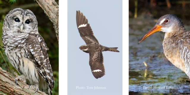 owls_rails_nightjars_pete-800x400
